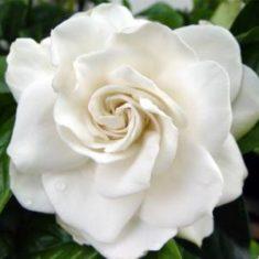 gardenia_athinarom