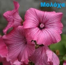moloxa-anthos-athinarom