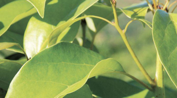Ραβιντσάρα (Cinnamomum camphora CT 1,8 cinéole)
